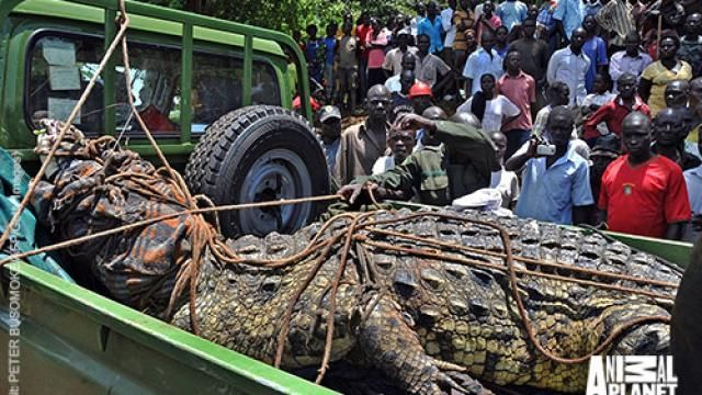 Killer Super Crocodile Caught in Uganda