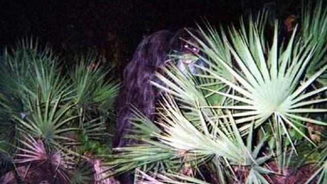 The Florida Skunk Ape and Skunk Ape Sightings